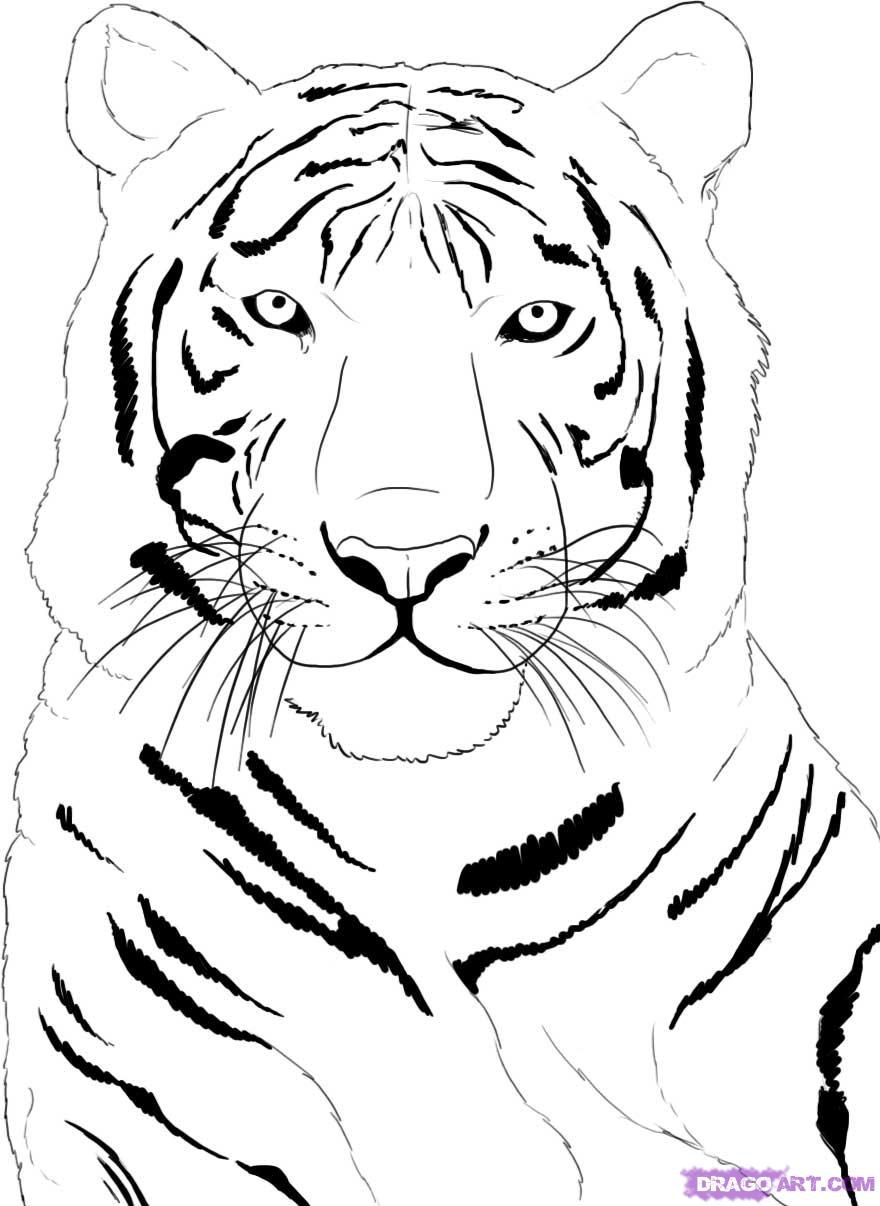 angry tiger face tattoo sketch real photo pictures images and